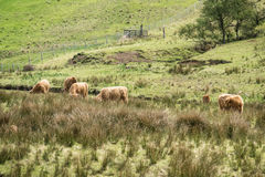 Highland cattle dwelling in the field, Scotland Stock Image