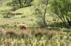Highland cattle dwelling in the field, Scotland Royalty Free Stock Photo