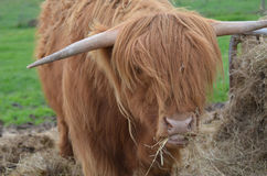 Highland Cattle Eating a Pile of Hay in Scotland Royalty Free Stock Photography