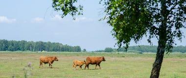 Scottish Highland Cattle stock images