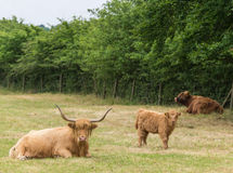 Highland cattle family group. Family of highland cattle resting in meadow royalty free stock photos
