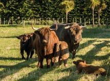 Highland Cattle Family Stock Photos