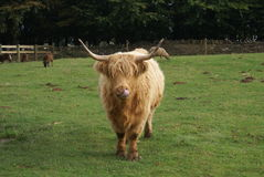Highland cattle in a farm Royalty Free Stock Photo