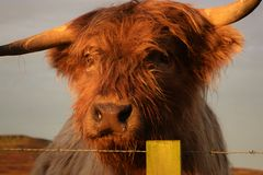 Highland cattle Stock Image