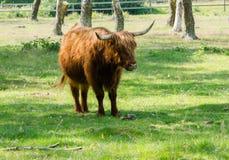 Scottish Highland Cattle stock photos