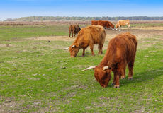 Highland Cattle Stock Images