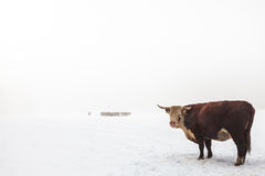 Highland cattle in a foggy white winter scene Royalty Free Stock Photo