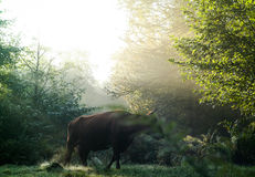 Highland cattle in the forest during a foggy Stock Photo