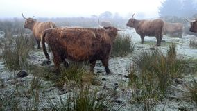 Highland cattle stock video