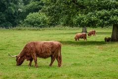 Highland cattle in the grass. In Scotland Royalty Free Stock Photo