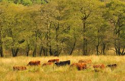 Grazing Highland cattle  (Kyloes) Stock Photo