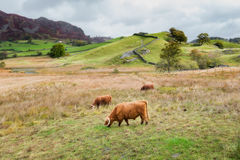 Highland Cattle Grazing in the Lake District Stock Photos
