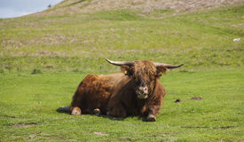 Highland cattle. Grazing Highland cattle in North York Moors National Park Stock Images