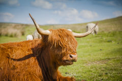 Highland cattle. Grazing Highland cattle in North York Moors National Park Stock Image
