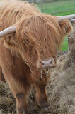 Highland Cattle with Hay in His Mouth royalty free stock photography