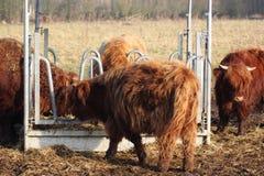 Highland cattle herd Stock Photo