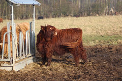 Highland cattle herd Royalty Free Stock Images