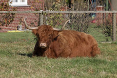 Highland Cattle, Kyloe on a meadow in Lower Saxony, Germany Royalty Free Stock Images