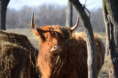 Highland Cattle looking through trees in pasture. Red Highland Cattle, by hay mound surrounded by trees in the pasture, with shaggy winter coat, alert stance Royalty Free Stock Photography