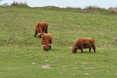 Highland cattle on the meadow Royalty Free Stock Photography