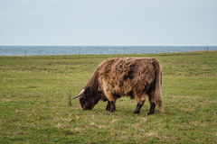 Highland cattle on the meadow Stock Images