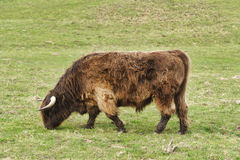 Highland cattle on the meadow Stock Image