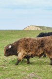 Highland cattle on the meadow Royalty Free Stock Photos