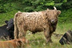 Highland cattle in the natu. Bohemian Forest. Czech Republic stock image