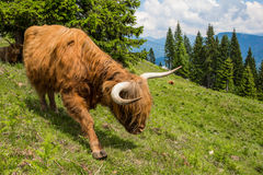 Highland Cattle In The Nocky Mountains Of Carinthia Stock Photos