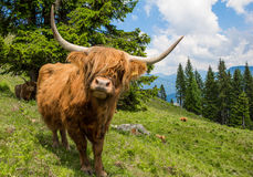 Highland Cattle In The Nocky Mountains Of Carinthia Royalty Free Stock Images