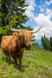 Highland Cattle In The Nocky Mountains Of Carinthia Stock Image