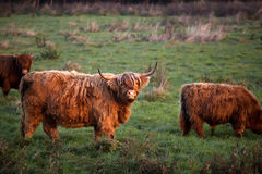 Highland cattle outdoors Stock Image