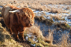 Highland cattle outdoors on pasture Royalty Free Stock Images