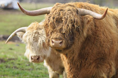 Highland Cattle Pair. Pair Kyloe Highland Bull Cow Cattle Scottish Breed Stock Photos