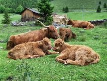 Highland cattle. On the pasture Royalty Free Stock Photography