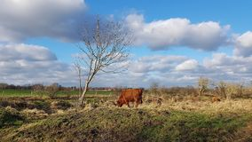 Highland cattle in pasture at a lowland bog in the North of Berl Royalty Free Stock Images