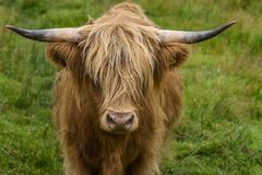 Highland cattle in portrait grazing in a green pasture, cute cow in the Highlands, Scotland, UK stock image