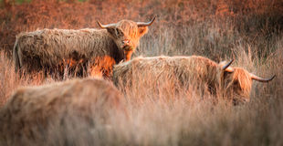 Highland cattle royalty free stock image