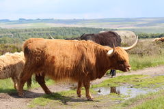 Highland Cattle. Red shaggy coated highland cattle on moorland with a countryside scene in the background Stock Photo