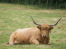 Highland cattle resting. Highland cattle with large horns at rest Royalty Free Stock Photos
