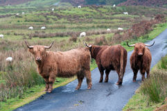 Highland cattle roadblock. Three highland cows blocking a highland road Royalty Free Stock Images