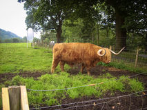 Highland Cattle of Scotland Stock Images