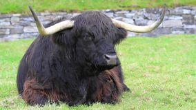 Highland Cattle in Scotland stock video
