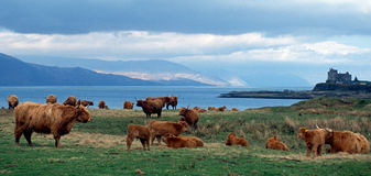 Highland Cattle Scotland. Duart Castle or Caisteal Dhubhairt in Scottish Gaelic is a castle on the Isle of Mull, off the west coast of Scotland, within the Stock Photography