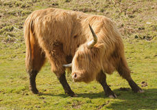 Highland cattle, Scotland Royalty Free Stock Photo