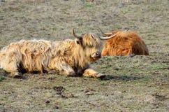 Highland cattle Stock Photos