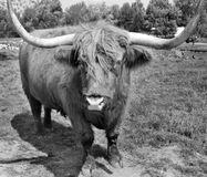 Highland cattle. Are a Scottish breed of cattle with long horns and long wavy coats which are colored black, brindled, red, yellow or dun Stock Images