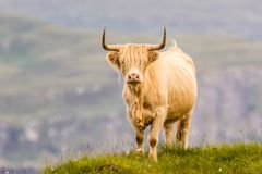 Highland cattle and Scottish Gaelic. On a medow in Scottish Highlands stock photography
