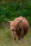 Highland cattle and Scottish Gaelic. On a medow in Scottish Highlands royalty free stock photography
