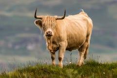 Highland cattle and Scottish Gaelic. On a medow in Scottish Highlands stock image